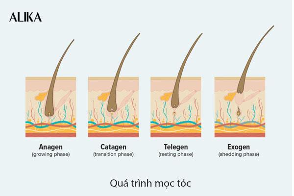 Qúa trình mọc tóc